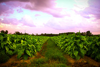 Easter Sky of Summer Tobacco